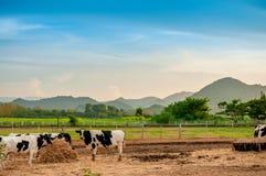 Koeien in een landbouwgrond Stock Afbeeldingen