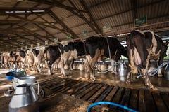 Koeien in een melkveehouderij royalty-vrije stock afbeeldingen