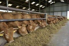 Koeien in een schuur Stock Foto's