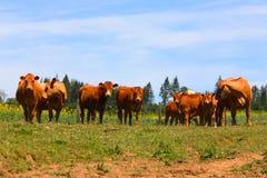 Koeien in een weiland Royalty-vrije Stock Foto's