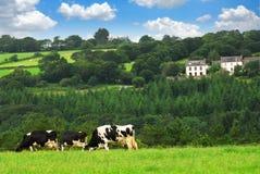 Koeien in een weiland Royalty-vrije Stock Afbeeldingen