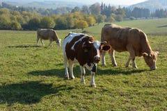 Koeien in een weiland stock afbeelding