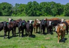 Koeien in een weiland Stock Foto's