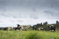 Koeien en bergen Royalty-vrije Stock Afbeeldingen