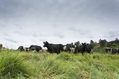 Koeien en bergen Stock Foto's