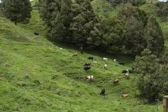 Koeien en bergen Stock Foto