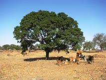 Koeien en bomen Royalty-vrije Stock Afbeeldingen
