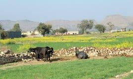 Koeien en buffels die op de gebieden weiden stock afbeeldingen