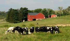 Koeien en eend op een landbouwbedrijf Stock Foto