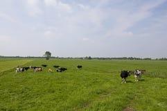 Koeien en el landschap de Hollands Imagen de archivo libre de regalías