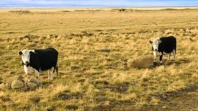 Koeien en het groene gras Stock Afbeeldingen