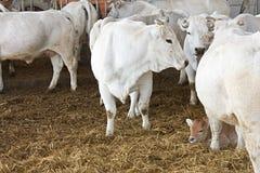 Koeien en kalf Royalty-vrije Stock Afbeeldingen