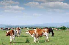 Koeien en kalf Royalty-vrije Stock Afbeelding