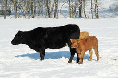 Koeien en Kalf Royalty-vrije Stock Fotografie