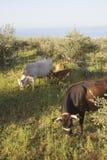 Koeien en kalf tussen olijfbomen met blauwe overzees in backgroun Royalty-vrije Stock Foto's