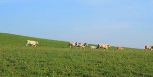 Koeien en Kalveren Stock Afbeelding