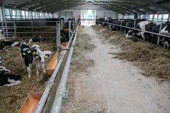 Koeien en Kalveren Royalty-vrije Stock Afbeelding