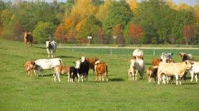 Koeien en kalveren in de herfst Stock Foto's