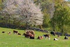 Koeien en kalveren in de lente Stock Afbeelding