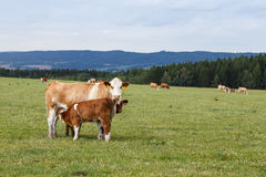 Koeien en kalveren die op een groene weide weiden Royalty-vrije Stock Afbeeldingen