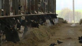 Koeien en kalveren op een veelandbouwbedrijf stock videobeelden