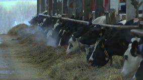 Koeien en kalveren op een veelandbouwbedrijf stock video