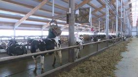 Koeien en kalveren op een veelandbouwbedrijf stock footage