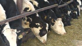 Koeien en kalveren op het dierlijke landbouwbedrijf stock video