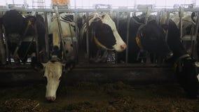 Koeien en kalveren op het dierlijke landbouwbedrijf stock footage