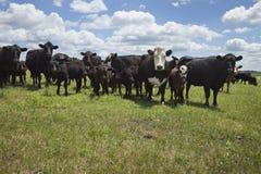 Koeien en kalveren op landbouwbedrijf het Zuid- van Dakota Stock Foto's