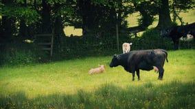 Koeien en Kalveren in Weide met Stuifmeel het Blazen stock video