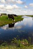 Koeien en koeten Stock Afbeelding