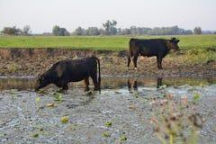 Koeien en stieren Royalty-vrije Stock Afbeeldingen