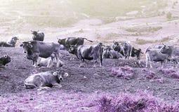 Koeien en stieren Stock Afbeelding