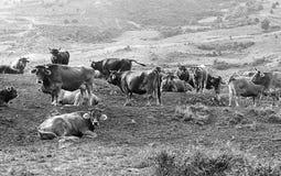 Koeien en stieren Stock Foto's