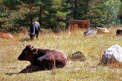 Koeien en stieren die op hij leggen de zomerweide Stock Afbeelding