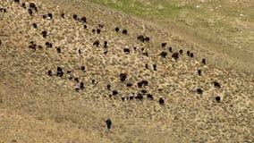 Koeien en stieren op zoek naar voedsel stock footage