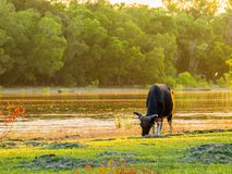 Koeien en vers grasgebied, waterkant royalty-vrije stock fotografie