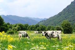 Koeien en Weide Stock Afbeeldingen