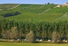 Koeien en wijngaarden in Italië. Royalty-vrije Stock Foto
