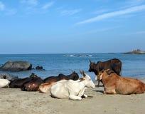 Koeien in Goa Royalty-vrije Stock Afbeeldingen