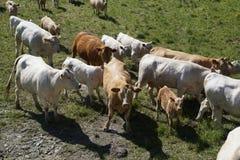 Koeien in groen weiland Stock Afbeelding