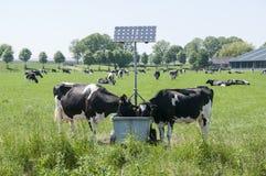 Koeien het drinken Royalty-vrije Stock Foto