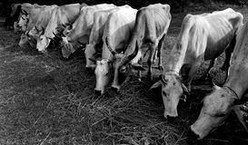 Koeien het eten Stock Afbeelding