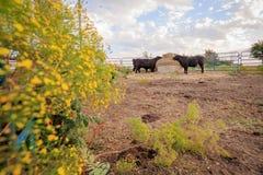 Koeien het eten Stock Foto