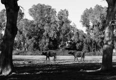 Koeien in het hout Royalty-vrije Stock Afbeeldingen