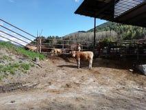 Koeien in het kamp stock afbeeldingen