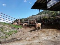 Koeien in het kamp royalty-vrije stock afbeelding