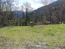 Koeien in het kamp royalty-vrije stock foto's