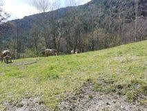 Koeien in het kamp royalty-vrije stock foto
